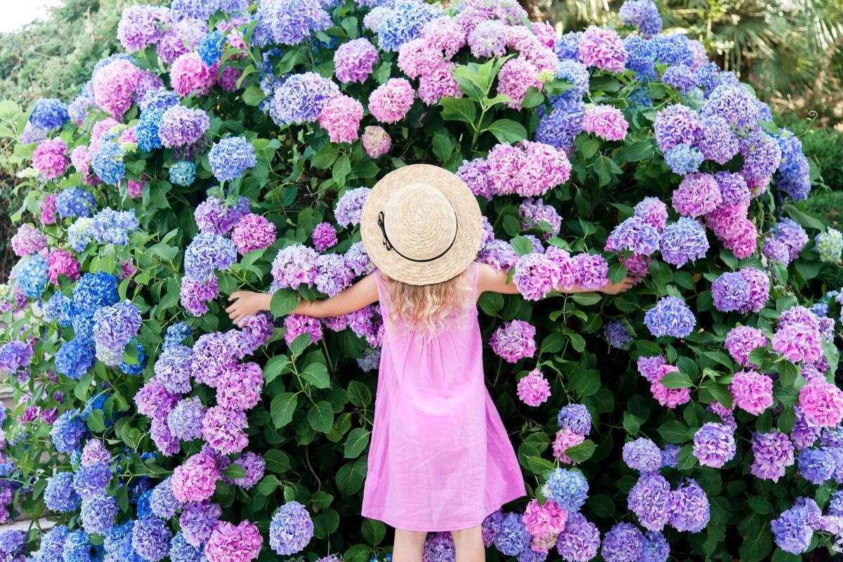 Hortensja ogrodowa - jak sadzić i pielęgnować?