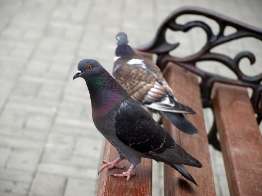 Jak odstraszyć gołębie, jakich zapachów nie lubią?