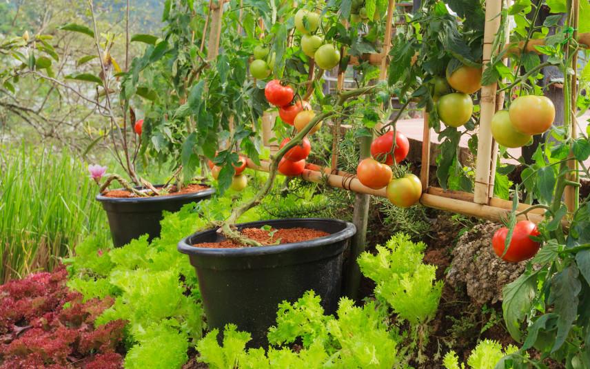 Pomidory w twoim ogrodzie